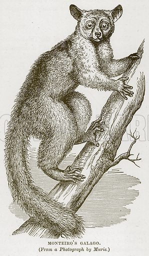 Monteiro's Galago. Illustration from Cassell's Natural History (Cassell, 1883).