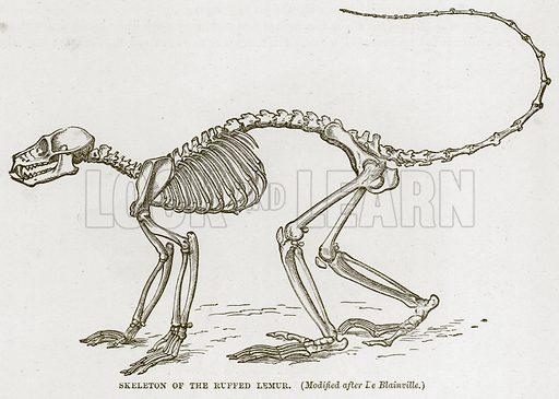Skeleton of the Ruffed Lemur. (Modified after De Blainville.) Illustration from Cassell's Natural History (Cassell, 1883).