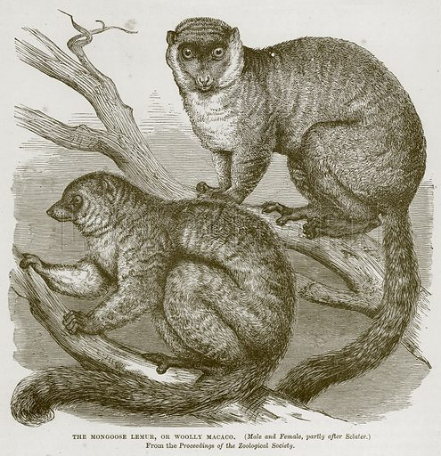 The Mongoose Lemur, or Woolly Macaco. (Male and Female, Partly after Sclater.) Illustration from Cassell's Natural History (Cassell, 1883).