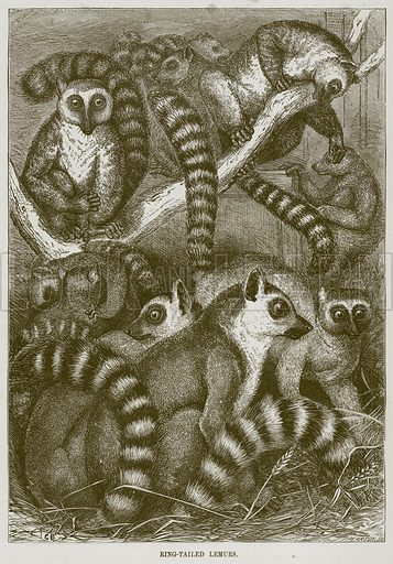 Ring-Tailed Lemurs. Illustration from Cassell's Natural History (Cassell, 1883).