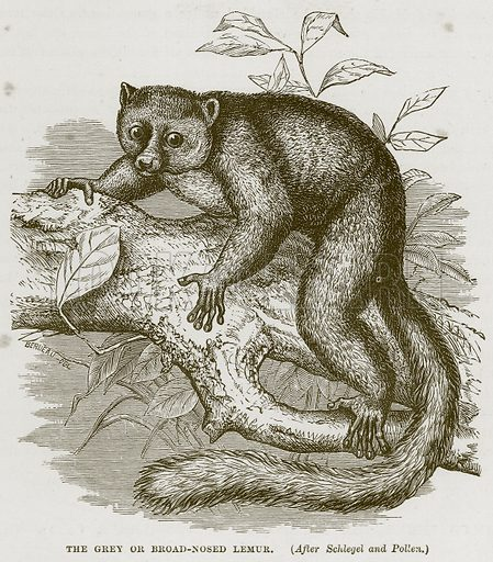 The Grey or Broad-Nosed Lemur. Illustration from Cassell's Natural History (Cassell, 1883).