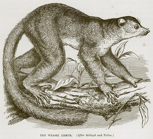 The Weasel Lemur. Illustration from Cassell's Natural History (Cassell, 1883).