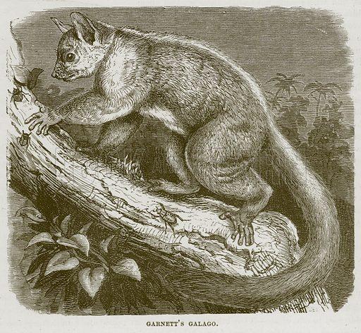 Garnett's Galago. Illustration from Cassell's Natural History (Cassell, 1883).