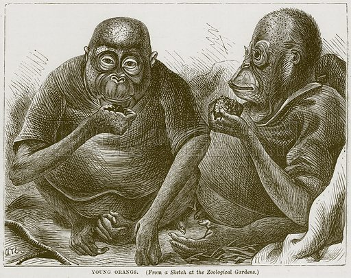 Young Orangs. Illustration from Cassell's Natural History (Cassell, 1883).