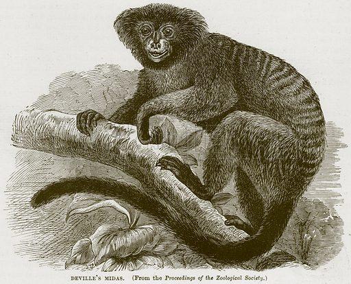 Deville's Midas. Illustration from Cassell's Natural History (Cassell, 1883).