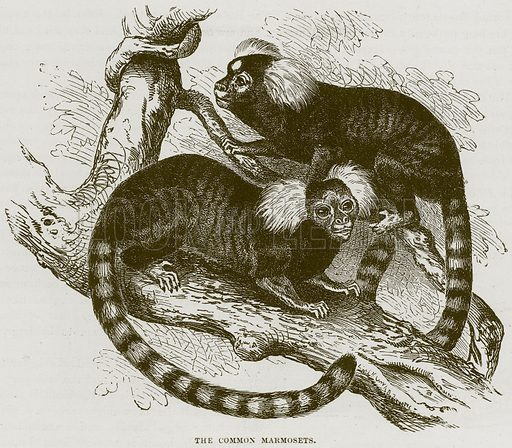 The Common Marmosets. Illustration from Cassell's Natural History (Cassell, 1883).
