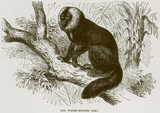 The White-Headed Saki. Illustration from Cassell's Natural History (Cassell, 1883).