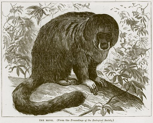 The Monk. Illustration from Cassell's Natural History (Cassell, 1883).