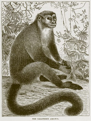 The Callithrix Amictus. Illustration from Cassell's Natural History (Cassell, 1883).