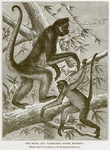 The Black and Variegated Spider Monkeys. Illustration from Cassell's Natural History (Cassell, 1883).