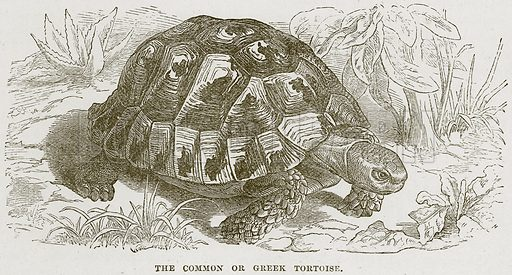 The Common or Greek Tortoise. Illustration from Cassell's Natural History (Cassell, 1883).