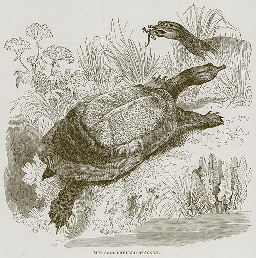 The Soft-Shelled Trionyx. Illustration from Cassell's Natural History (Cassell, 1883).