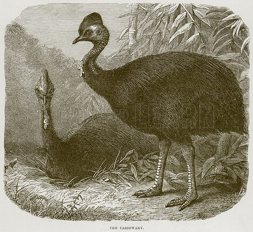 The Cassowary. Illustration from Cassell's Natural History (Cassell, 1883).