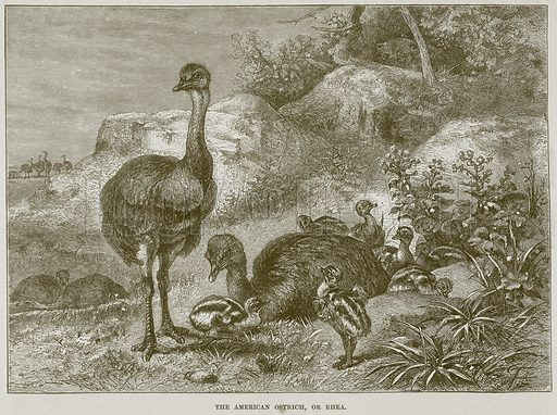 The American Ostrich, or Rhea. Illustration from Cassell's Natural History (Cassell, 1883).