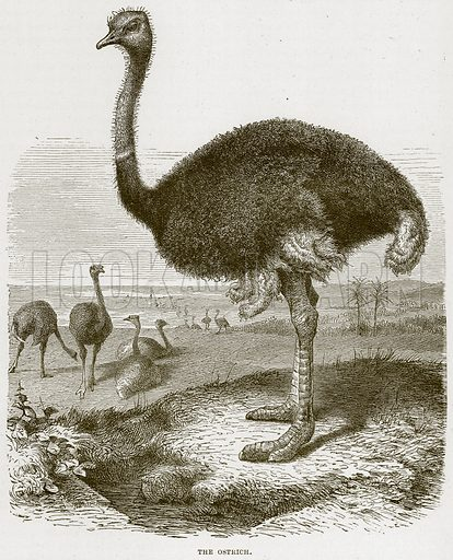 The Ostrich. Illustration from Cassell's Natural History (Cassell, 1883).