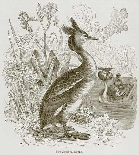 The Crested Grebe. Illustration from Cassell's Natural History (Cassell, 1883).