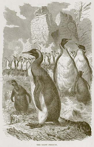 The Giant Penguin. Illustration from Cassell's Natural History (Cassell, 1883).