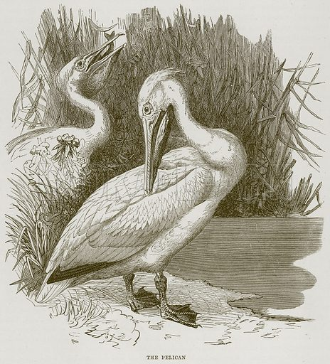 The Pelican. Illustration from Cassell's Natural History (Cassell, 1883).