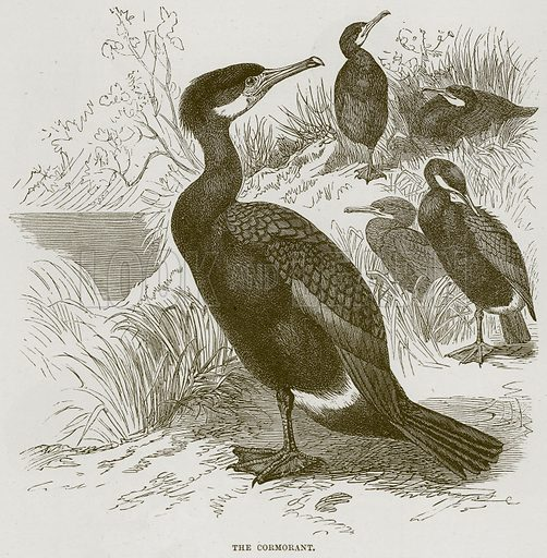 The Cormorant. Illustration from Cassell's Natural History (Cassell, 1883).