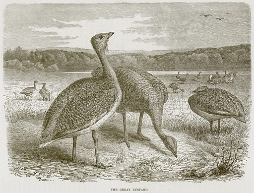 The Great Bustard. Illustration from Cassell's Natural History (Cassell, 1883).