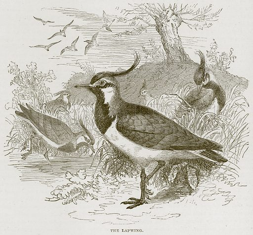 The Lapwing. Illustration from Cassell's Natural History (Cassell, 1883).