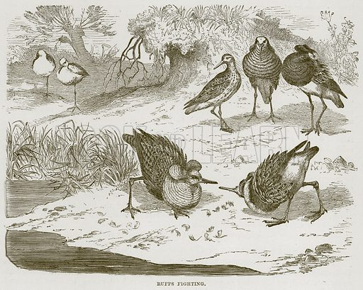 Ruffs Fighting. Illustration from Cassell's Natural History (Cassell, 1883).