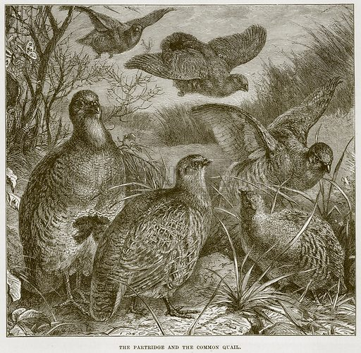The Partridge and the Common Quail. Illustration from Cassell's Natural History (Cassell, 1883).