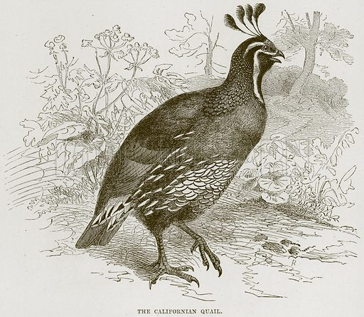 The Californian Quail. Illustration from Cassell's Natural History (Cassell, 1883).