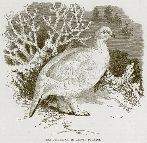 The Ptarmigan, in Winter Plumage. Illustration from Cassell's Natural History (Cassell, 1883).
