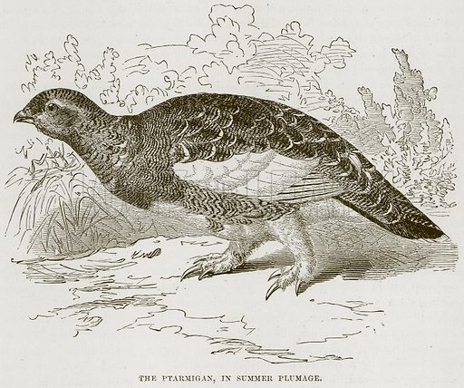 The Ptarmigan, in Summer Plumage. Illustration from Cassell's Natural History (Cassell, 1883).