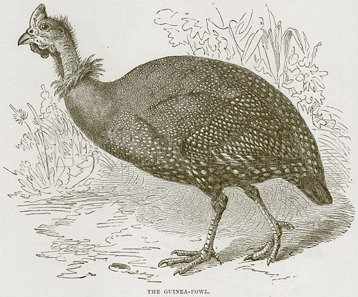 The Guinea-Fowl. Illustration from Cassell's Natural History (Cassell, 1883).