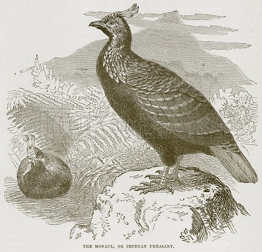 The Monaul, or Impeyan Pheasant. Illustration from Cassell's Natural History (Cassell, 1883).