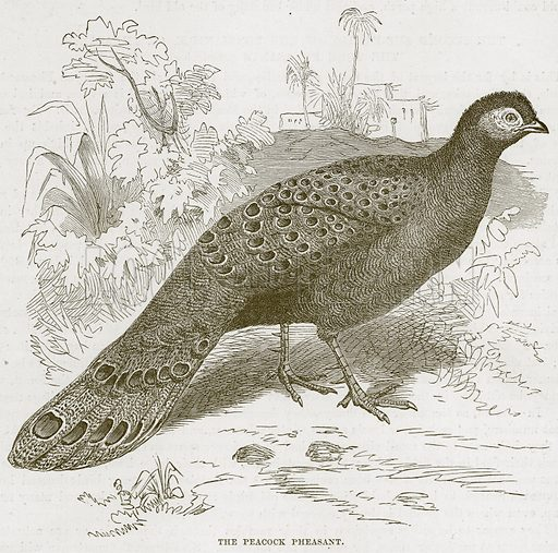 The Peacock Pheasant. Illustration from Cassell's Natural History (Cassell, 1883).