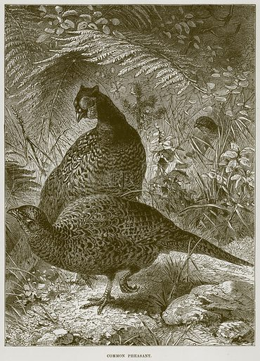 Common Pheasant. Illustration from Cassell's Natural History (Cassell, 1883).