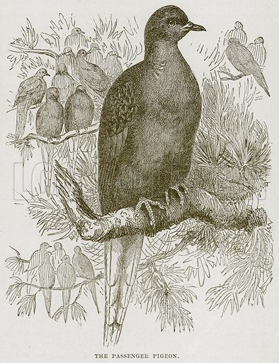 The Passenger Pigon. Illustration from Cassell's Natural History (Cassell, 1883).