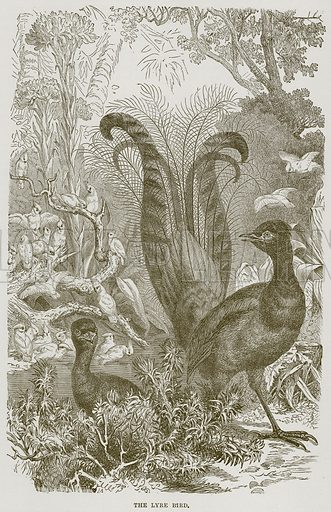 The Lyre Bird. Illustration from Cassell's Natural History (Cassell, 1883).