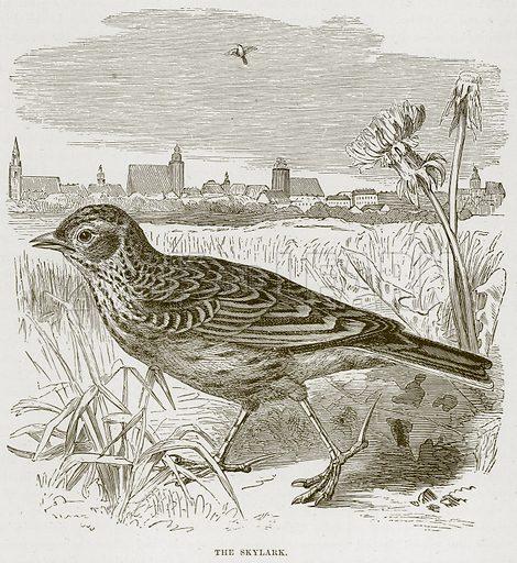 The Skylark. Illustration from Cassell's Natural History (Cassell, 1883).