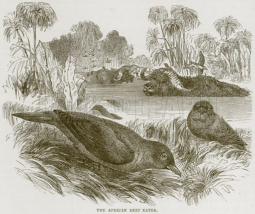 The African Beef Eater. Illustration from Cassell's Natural History (Cassell, 1883).