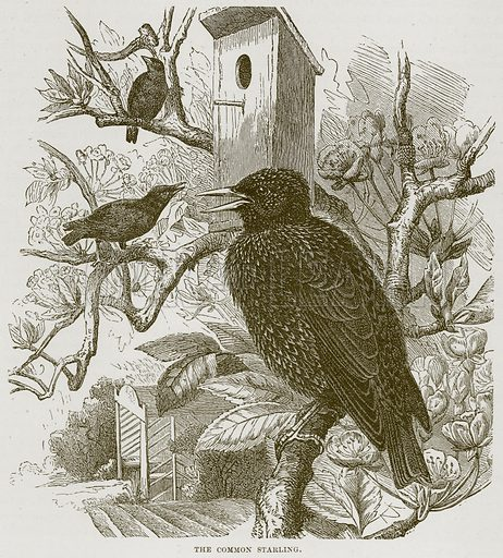 The Common Starling. Illustration from Cassell's Natural History (Cassell, 1883).