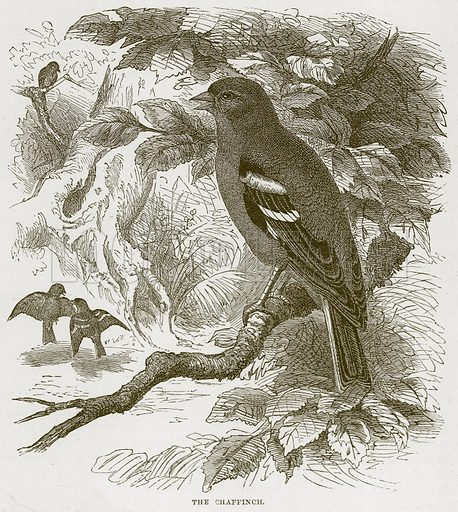 The Chaffinch. Illustration from Cassell's Natural History (Cassell, 1883).