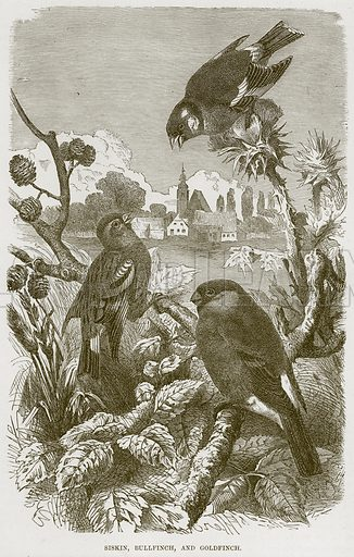 Siskin, Bullfinch, and Goldfinch. Illustration from Cassell's Natural History (Cassell, 1883).