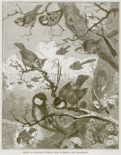 Group of European Titmice, with Nuthatch and Goldcrests. Illustration from Cassell's Natural History (Cassell, 1883).