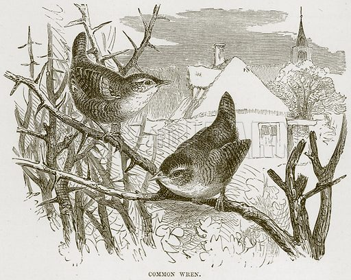 Common Wren. Illustration from Cassell's Natural History (Cassell, 1883).