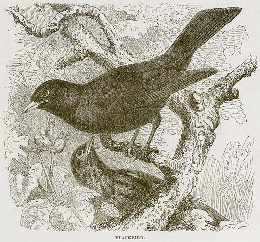 Blackbird. Illustration from Cassell's Natural History (Cassell, 1883).
