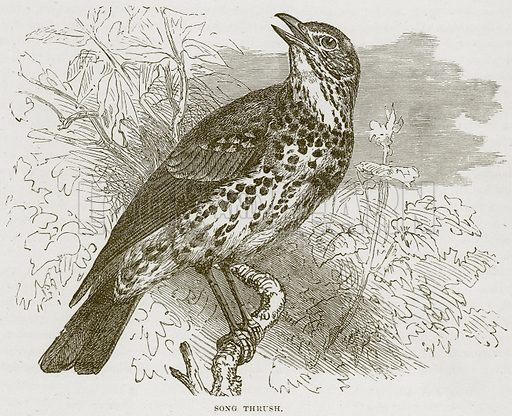 Song Thrush. Illustration from Cassell's Natural History (Cassell, 1883).