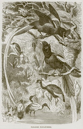 Paradise Flycatchers. Illustration from Cassell's Natural History (Cassell, 1883).