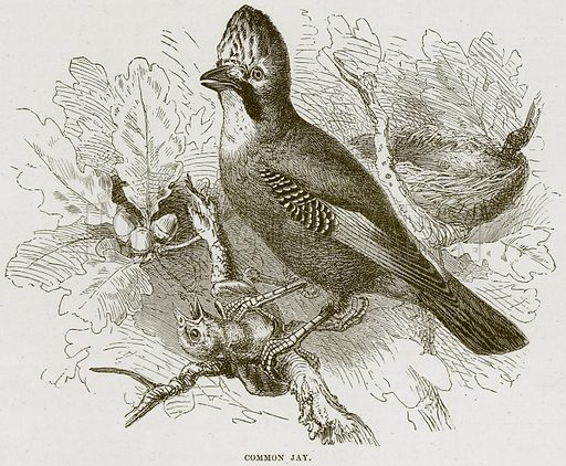 Common Jay. Illustration from Cassell's Natural History (Cassell, 1883).