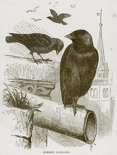 Common Jackdaw. Illustration from Cassell's Natural History (Cassell, 1883).