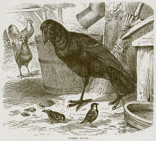 Common Raven. Illustration from Cassell's Natural History (Cassell, 1883).