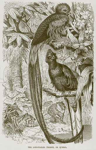 The Long-Tailed Trogon, or Quesal. Illustration from Cassell's Natural History (Cassell, 1883).